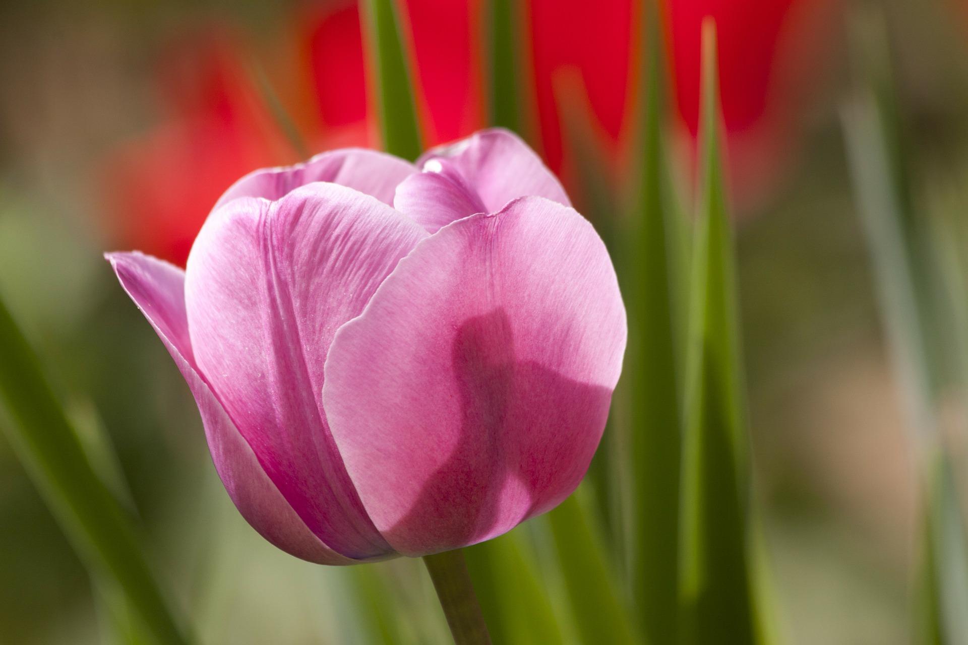 Des tulipes contre le cancer